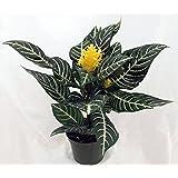 "jm bamboo-Zebra Plant - Aphelandra - Exotic & Unusual House Plant - 5"" Pot"