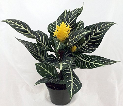 jm bamboo-Zebra Plant - Aphelandra - Exotic & Unusual House Plant - 5'' Pot by JM BAMBOO