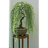 Green Weeping Willow Bonsai Tree - Live Plant - Thick Trunk Rootstock. Dwarf Bonsai Tree. Ships from Iowa, USA