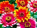 Zinnia- Carrousel Mix- 100 Seeds