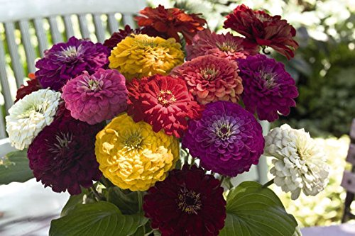 Amazon price history for 25 Zinnia Seeds - BENARY'S GIANT FORMULA Mix Color -Fresh Cut Flower Seeds Sold By- Vasuworld