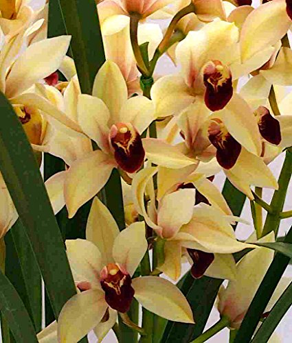 Orchid Insanity -Cymbidium Imperial Treasure - Elegant Diminutive Orchid floriferous Easy to Grow NOT in Bloom/Bud When Shipped - How To Grow Orchid
