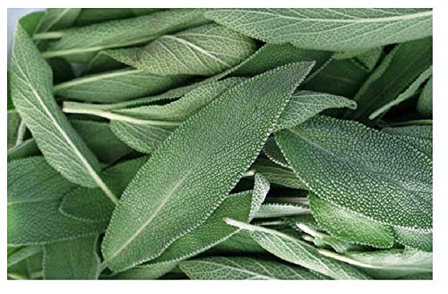 Broadleaf Sage ,(200 Herb Seed ) Common Sage, Perennial, Our Seeds Are GMO - Sage Broadleaf