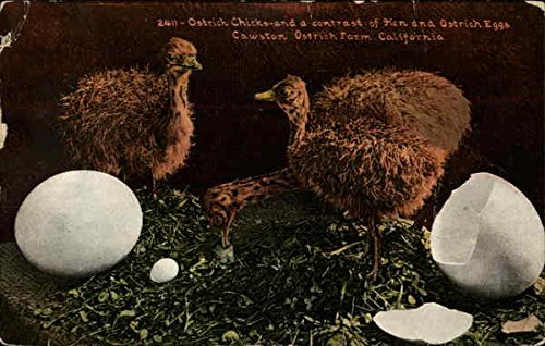 Ostrich Chick and a Contrast of Hen and Ostrich Eggs South Pasadena, California Original Vintage ()