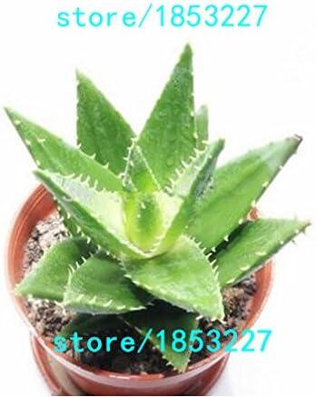 100 Pcs Beauty Aloe Seed Fruit Vegetables Flower Seeds  Home Garden  Plants