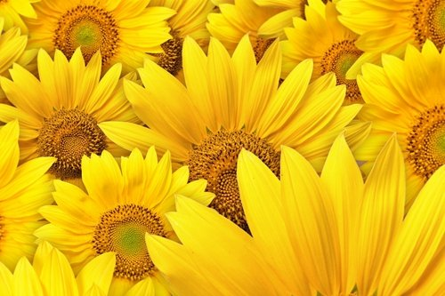 Yellow Sunflowers Art Print on Canvas,Wall Decor Poster 24x3