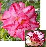 9GreenBox - Triple Spin Desert Rose