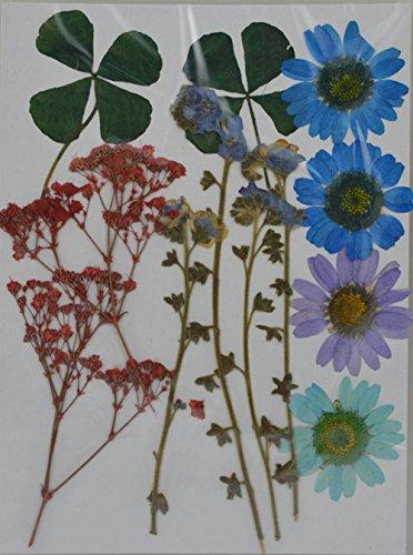 LoveDiyLife mixed Daisy Baby's Breath myosotis real pressed dried (Pressed Flowers)