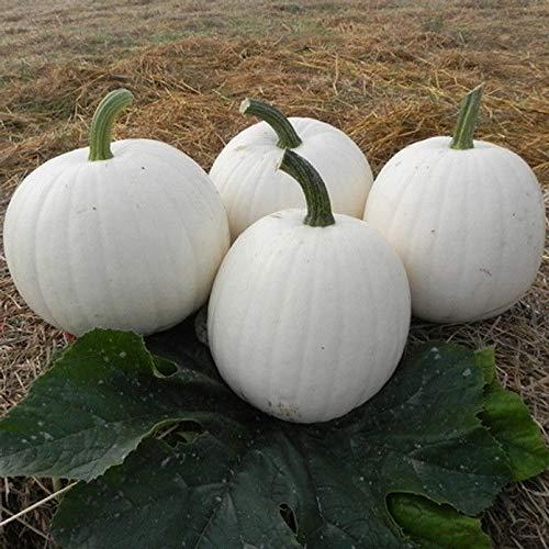 - White Pumpkin Casper (10 Seeds)