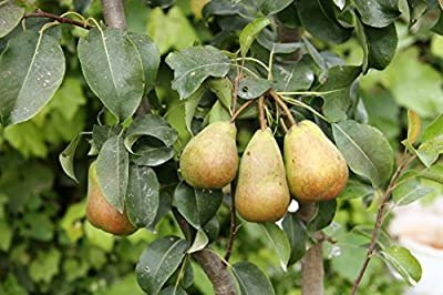TreesAgain Potted Pear Tree - Pyrus communis - 6 to 10+ inches (NO SHIP to UT, ID, OR and WA)