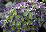 Cityline Rio Hydrangea macrophylla - Strong Blue/Purple - Proven Winner
