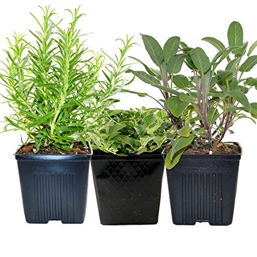 Cutdek Rosemary Oregano Sage Set of 3 Plants Herb Collection Gourmet Assortment of Organic Herbs - Great Gift Herb Kit Non-GMO by Cutdek