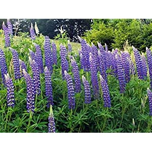 Blue Lupine Flower Seeds - Lupinus Perennis, 8 Oz, Over 10,000 Seeds