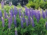 Blue Lupine Flower Seeds - Lupinus Perennis, 8 Oz, Over 10,000 Seeds