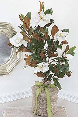 Southern Magnolia Large Sympathy Gift Tree by The Magnolia Company - Get Beautiful and Fragrant Flowers on Lush''in Memory'' Magnolia Tree Gift by The Magnolia Company (Image #5)