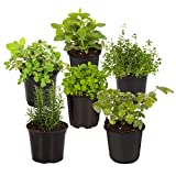 """The Three Company Live 3.5"""" Herbs"""