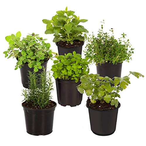 "The Three Company Live 3.5"" Assorted Herbs (Rosemary, Oregano, Cilantro, Parsley, Mint, Lemon Balm), Natural Health Benefits"