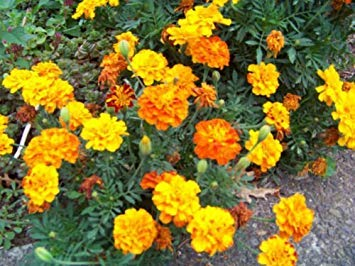 French 335 Marigold Seeds Groco Mix Sparky Farmerly qw4tyH