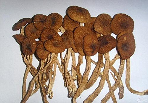Delicious mushroom Agrocybe Aegerita dried 5000 gram, Grade A by JOHNLEEMUSHROOM