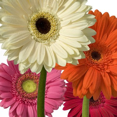 Wholesale Gerberas (150 Assorted) by eFlowy (Image #2)