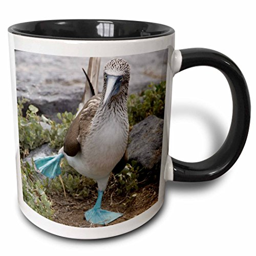 3dRose (mug_86141_4) Ecuador Galapagos Islands Blue-footed Booby - SA07 CMI0902 - Cindy Miller Hopkins - Two Tone Black Mug, (Black Footed Cup)