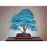 Brend New 20 bonsai blue maple tree seeds Bonsai tree seeds. rare sky blue japanese maple seeds Balcony plants for home garden