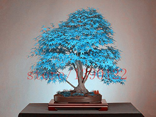 brend-new-20-bonsai-blue-maple-tree-seeds-bonsai-tree-seeds-rare-sky-blue-japanese-maple-seeds-balco