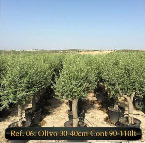 ULIVO OLIVO OLEA EUROPEA VASO 110 LT FOTO REALE CIRCONFER. TRONCO 30-40 CM