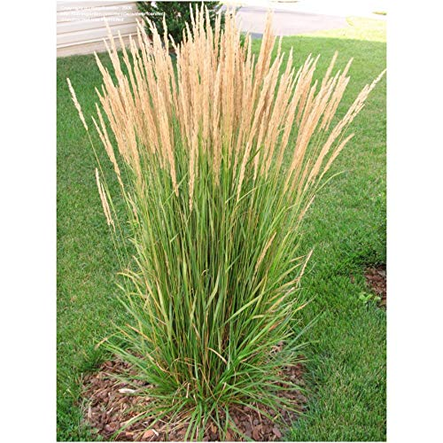 - Live Feather Reed Grass aka Calamagrostis acut. 'Karl Foerster' Plant Fit 5 Gallon Pot
