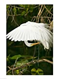 Close-up of a Great White Egret Art Print, 15 x 20 inches