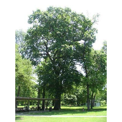 Shumard Oak Tree - Shade Healthy Established Rooted - 1 Plant in a Gallon Pot from Grandiosy Farm : Garden & Outdoor