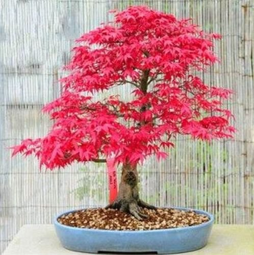 (20 PCS Japanese Red Maple Bonsai Seeds T2, Beautiful Trees Air Purifier Garden)