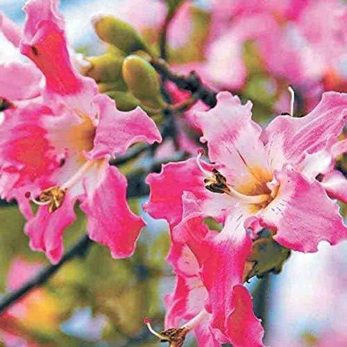 20 Stück exotisch blühender Baum Seide Kapok Samen einfach zu züchten zieht Bienen und Schmetterling an