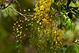 10 Seeds Cassia fistula Golden Shower Ornamental Yard Tree
