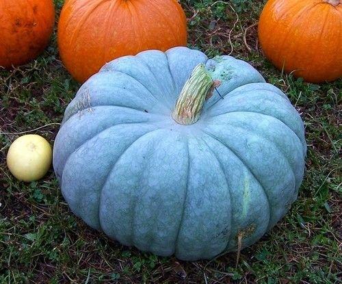 Jarrahdale Blue Pumpkin, Cucurbita Maxima,10 Seeds (6-10 - Sunniest Places