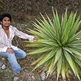 10 HUGE AGAVE IMPRESSA GREEN GIANT HOUSE PLANT SEEDS