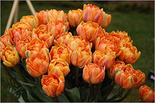 25 Tulip Orange Princess, Tulip Bulbs, Fall Planting,double Late by CaribbeanGarden