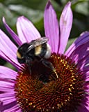 Van Zyverden Bumble Bee Pollinator Coneflowers Roots (Set of 5), Purple