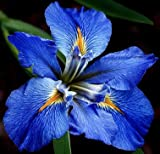(2) Spectacular Flowering Bayou Blue Sinfonietta Louisiana Iris Rhizomes/Root/Plant