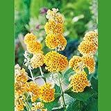 Schmetterlingsflieder Sungold - Sommerflieder (Buddleja) Pflanze in strahlendem Gelb, halbschattig und winterhart - Flieder-Strauch von Garten Schlüter
