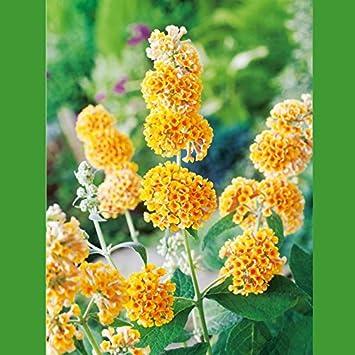 Schmetterlingsflieder Sungold Sommerflieder Buddleja Pflanze In