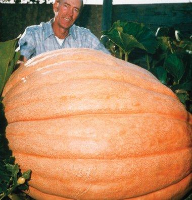 David's Garden Seeds Pumpkin Dill's Atlantic Giant (Oriental) D602A (Orange) 15 Open Pollinated Seeds