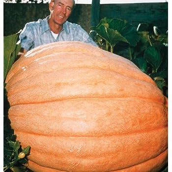 Organically Grown Dill's Atlantic Giant Pumpkin 15 Seeds