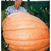 Pumpkin Giant Dills Atlantic D602A (Orange) 10 Seeds by Davids Garden Seeds