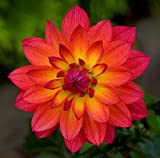 Firepot Decorative Dahlia - 2 Bulb Clumps