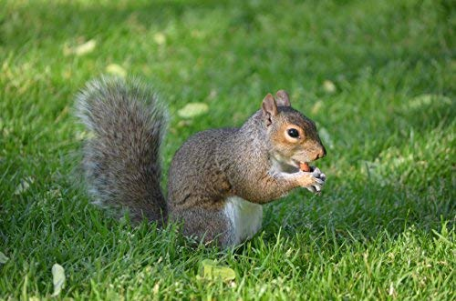 Virginia Peanuts Premium Grade Raw Red Skin Animal Peanuts for Squirrels, Birds, Deer, Pigs and a Wide Variety of Wildlife/Bulk Nuts/Blue Jays/Cardinals/Woodpeckers/Parrots/Doves (50 lbs) by WAKEFIELD PEANUT COMPANY A TRADITION OF EXCELLENCE SINCE 1965 (Image #6)