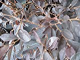 Loropetalum Zhuzhou fringe flower pink flowering, 100 plants,