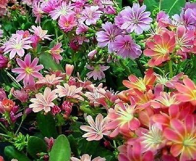 Lewisia arco iris híbridos Mix Seeds 10 semillas de jardín: Amazon.es: Jardín