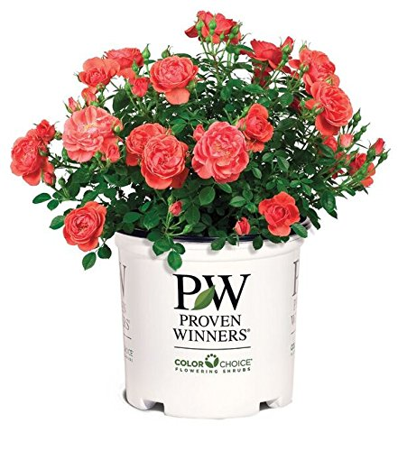 Proven Winners - Rosa OSO Easy Mango Salsa (Rose) Rose, Salmon/Coral
