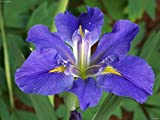 "1 Plant -Louisiana Iris ""Sinfonietta"" BloomEarly and mid-spring"